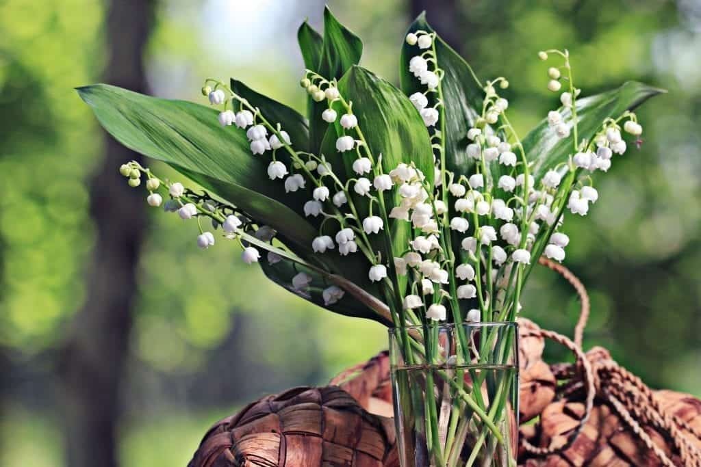 Symbolism of Maiglöckchen, Lily of the Valley, in Germany ... on house plant banana, house plant candy cane, house plant dracaena, house plant sage, house plant caladium, house plant vinca, house plant fern, house plant strawberry, house plant datura, house plant dogwood, house plant asparagus, house plant cyclamen, house plant ivy, house plant azalea, house plant lime, house plant orchid, house plant ylang ylang, house plant eucalyptus, house plant thyme,